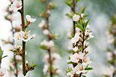 Makro des Blumen der Mandelbaum. flache Dof, Schwerpunkt Staubgefäßen.