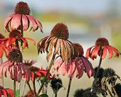 Worn And Faded Petals Of The Coneflower At The End Of The Growing Season.  Bright Pink Color Still C poster