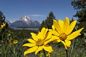 yellow flowers with the grand tetons in the background. photo taken on signal mountain, grand tetons