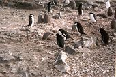 Chinstrap Penguin nests and chicks
