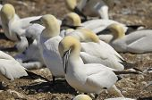 foto of gannet  - Colony of Northern Gannets sunbathing off Bonaventure Island Quebec, Canada. The Northern Gannet (Morus bassanus) is a seabird and is the largest member of the gannet family, Sulidae