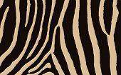 Colorful Animal Skin Textures Of Zebra. Vector Illustration Wild Pattern, Eps 10