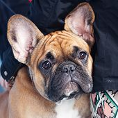 Portrait Of The French Bulldog Sitting On A Bench