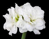 Hippeastrum double flowering Alfresco