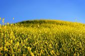 Mustard Grass