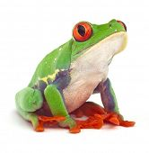 foto of exotic frog  - red eyed treefrog macro isolated exotic frog curious animal bright vivid colors - JPG