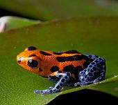 red striped poison dart frog blue legs of amazon rain forest in Peru, poisonous animal of tropical r
