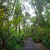 trail in tropical rainforest Cape Tribulation AUstralia, ancient rain forest exploration hiking in w