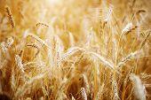 Golden sunset over wheat field. Shallow DOF, focus on ear