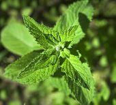 Fresh herb origanum mint plant in garden