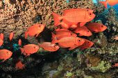 School of Crescent-tailed Bigeye Fish under a table coral
