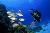 Female Scuba Diver takes Underwater Photographs of School of Fish on coral reef