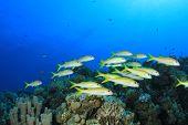 Постер, плакат: Школа тропических рыб: желтый тростниковыми кораллового рифа