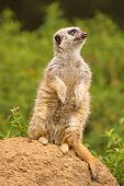 Meerkat standing on guard looking upward, watching for predators like hawks