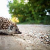 Baby European Hedgehog (Erinaceus europaeus