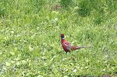 stock photo of ringneck  - colorful pheasant  - JPG