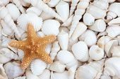 Seashell selection with starfish forming a background.