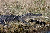 Jacaré americano (alligator Mississippiensis)