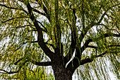foto of weeping willow tree  - weeping willow  - JPG