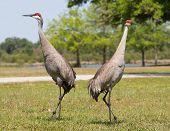 Sandhill Cranes In Pose
