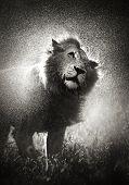 Männlichen Löwen abschütteln Wasser in Gewitter - Krüger Nationalpark - Südafrika