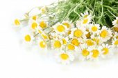 Many chamomile isolated on white