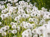 Wild Fluffy Dandelions