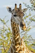 Giraffe Licking Leaves