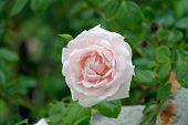 stock photo of climbing roses  - climbing rose with green in the backround - JPG