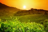 Tea plantation landscape at sunrise