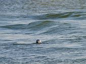 Seal Swimming In The North Sea