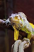 image of godzilla  - Yellow iguana sitting on the tree in aquarium - JPG