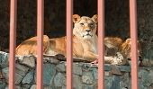 Pair of lions lying behind the bars.