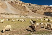 stock photo of cashmere goat  - Herd of Pashmina sheep and goats grazing in Himalayas - JPG