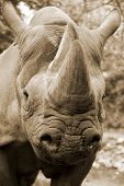pic of fat lip  - The black rhinoceros or hook - JPG
