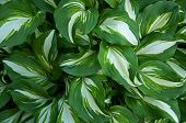 Hosta With Green And White Leafs
