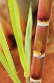 Sugarcane Or Sugar Cane Closeup Showing Juicy Ripe Stem