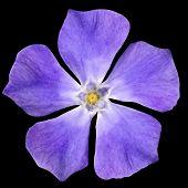 Purple Flower - Periwinkle Vinca Minor Isolated On Black