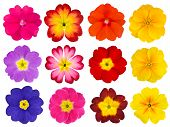 foto of primrose  - Collection of twelve colorful Primroses Isolated on White Background - JPG