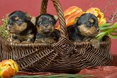 Three Yorkshireterriers On Red Background