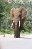 image of tusks  - single male elephant bull with tusks walking - JPG