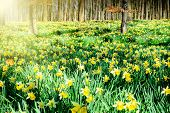 Daffodils In Spring Forest