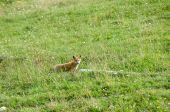 Fox Near Log