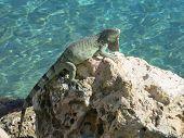 Sea Iguana