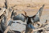picture of sun perch  - Rear view of African Darter  - JPG
