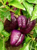 purple peppers ripening on the vegetable bed