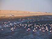 Flock Of Flamingos In Walvis Bay