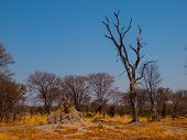 Termite Hill In Okavango Region