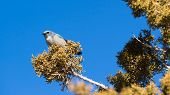 Scrub Jay Blue Bird Great Basin Region tierische Wildlife