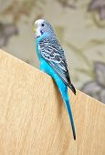 Budgerigar Sitting On The Door. Beautiful Bird.